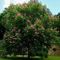 aesculus x carneaheight 4 Street Trees, Deciduous Trees, Garden Trees, Bonsai, Nature, Branches, Cactus, Images, Free