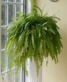 indoor plants | fern-room-decor-window-decoration-indoor-plants.gif
