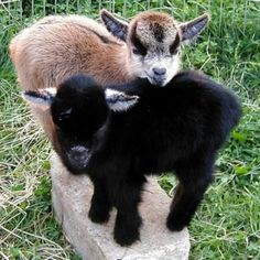 Yeah, were on your brick, whatre you gonna do about it tough guy? Just try and finish your building now! Mini Goats, Cute Goats, Baby Goats, Baby Pygmy Goats, Cute Baby Animals, Farm Animals, Animals And Pets, Funny Animals, Pigmy Goats