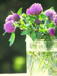 Red Clover in a jelly jar