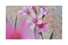 Um dos meus tons preferidos. 😌💕🌸🍀 . . . . . 🌿🌼 #love #instalove #flowers #instaflowers #ig_worldclub #ig_flowers #grace #nature #instanature #naturelovers #farm #sunday #grateful #happy #꽃 #자연 #사진 #landscape #natureza #pink #camporeja ✨⭐^_^