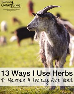 It's no secret that I love my goats, and my love for them has a big impact on how I care for them. This is why I've chosen to use herbals and other natural methods to keep them in good health. Through research and following the advice of qualified herbalists, I've learned a few tips and tricks to keeping my goat herd in good shape using herbs, and I'd like to show you what I do and how you can do it, too!
