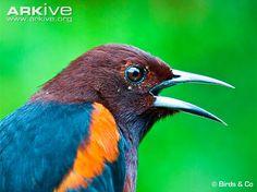 Martinique oriole vocalising. Endemic to Martinique