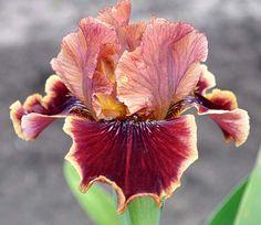IB Iris germanica 'Uptown Fashion' (Blyth, 2012) Brown Flowers, Iris Flowers, Colorful Flowers, Planting Flowers, Dwarf Iris, Iris Eye, Bulbous Plants, Iris Garden, Bearded Iris