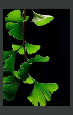 Ginkgo Plant...I love this phyta and it's supposed medicinal properties. Helpful in Alzheimer's, macular degeneration and claudication.