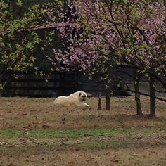 Smudge's spring afternoon. #mossmountainfarm #joy #pallensharethebounty