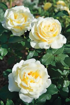 Hybrid Tea Roses ELINA Very large, delicately refined, pale primrose-yellow blooms. Extremely healthy. Slight fragrance. A strong and bushy plant; it is an excellent variety for bedding and is suitable for exhibition. #hybridtearoses