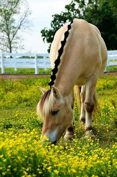 Norwegian Fjord horse at the Kentucky Horse Park. - title Buttercup - by Marina Nielsen on 500px