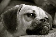 Awwww... Puggles are so cute! Pug + Beagle = Puggle.