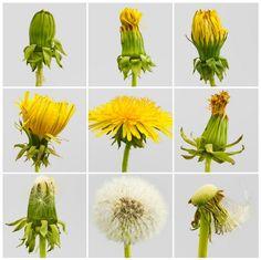 Voikukan kukan kehittyminen