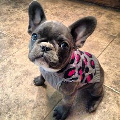 Blue French Bulldog Puppy.