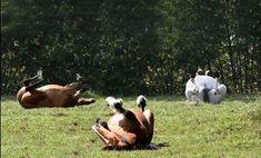 ✅ NYHEDSMAIL TIL HESTEFOLKET ∙ uge 26 2020  Heste på græs . Cirkuskunster .Korrigerende øvelser .Hovpleje .Kommunikation . Præstation . Vægt . Grovfoderbehov . Dressur . Ugens populæreste. Cow, Animals, Dressage, Communication, Animales, Animaux, Animal, Animais