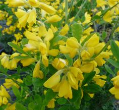 GENISTA 'Porlock' Trees And Shrubs, Vines, Garden, Plants, Wallpapers, Lawn And Garden, Gardens, Plant, Arbors