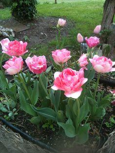 Tulipes à fleurs de pivoine