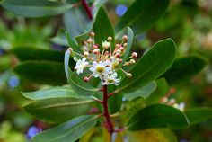 The Winter's bark or canelo (Drymis winteri ) is an endemic Chilean tree from Valdivia temperate rainforest. Summer Bulbs, Spring Bulbs, Planting Shrubs, Flowering Shrubs, Evergreen Shrubs, Trees And Shrubs, Sun Plants, House Plants, Potted Plants