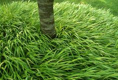 Hakonechloa macra. Tom Stuart Smith seems to love this grass. Keep meaning to get some to try it for brightening a darkish side of my garden