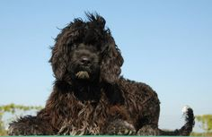 Portuguese Water Dog  Dog Breed History, Information, Pictures