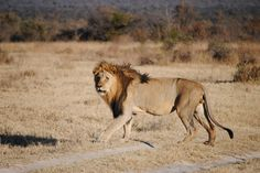 Male lion on the hunt by Nick Swanevelder on 500px