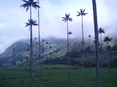 Valle del Cocora - home to the largest wax palms in the world Places Around The World, Around The Worlds, Palms, Wonderful Places, Wax, Coffee, Colombia, Kaffee, Laundry