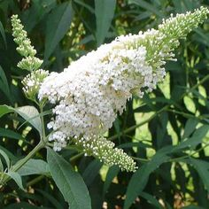 Butterfly Bush - 5 Buddleia davidii White Profusion - Five Live Fully Rooted Perennial Plants by Hope Springs Nursery