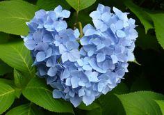 Hydrangea Flower Head in the Shape of a Heart ...How Sweet ~
