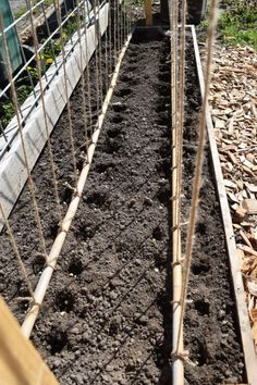 trellis support for growing climbing snap peas.