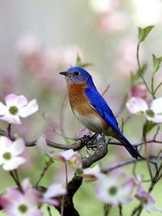 eastern blue bird- 5 of them outside my kitchen window