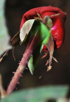 Rosa y espinas