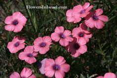 Common name:	 	Hairy Pink Flax  Flowering Period:	 	 February, March