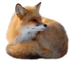 Fox Picture Clipart