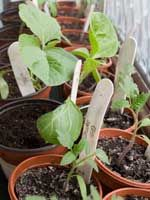 'Hardening off' is the vital process of getting seedlings ready for the big outdoors.  Without this vital step it is all too easy to lose precious plants or have them wilt from the sudden change in conditions between a warm windowsill and a draughty garden.