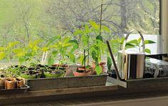 Forspiring i vindueskarmen af sommerens blomster og grøntsager kræver de helt rigtige lysforhold. For meget lys resulterer i brændte planter og for lidt lys betyder, at planterne bliver tynde og blege. Det perfekte lysforhold finder du i de øst- eller vestvendte vinduer.