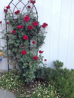 "3rd Season fed exclusively ""Moo Poo Tea""  rosarian Ria de Grassi shares her 'Don Juan' rose coming in to bloom 2013"