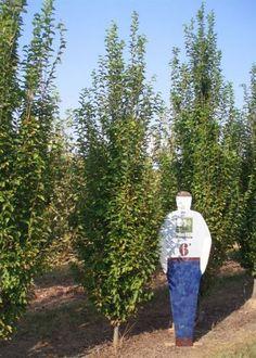 hornbeam tree for privacy