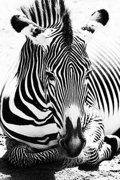 Striped Zebra by Jennifer Brehm Beautiful Creatures, Animals Beautiful, Animals And Pets, Cute Animals, Wild Animals, Zebra Art, Zebra Decor, Mundo Animal, Foto Art