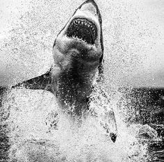 The great white shark - The hitman of the sea