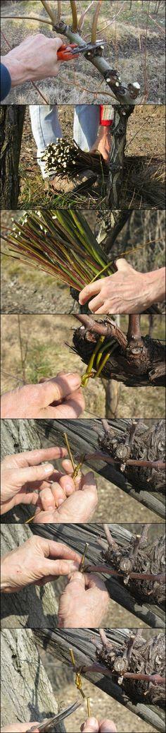 [It] Le fasi principali della potatura e legatura delle nostre viti. [En] The main steps of pruning and tying our vines.