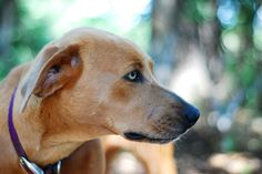 blue lacy dog photo | True blue Lacy Dog photo gallery