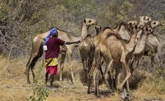 A Somali herder tends to his camels by the side of the road near the town of Dhobley, currently under control by Kenyan military and Somali government forces, in Somalia. (AP)