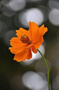 Color Splash by Rosie* ‐ Autumn Orange ‐ Exotic Flowers, Orange Flowers, Amazing Flowers, Beautiful Flowers, Beautiful Pictures, Cosmos Flowers, Bokeh Photography, Flower Photography, Flower Pictures