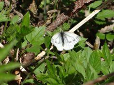 Green-veined white, female / Ematurga atomaria / Rapssommerfugl, hunn