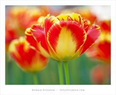 Google Image Result for http://stylepeterson.com/flowers/tulip-24.jpg