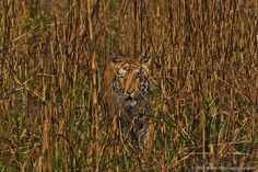 tiger camouflage - Google Search