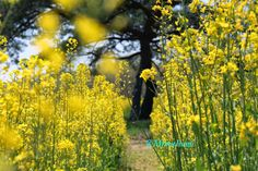 Canola flowers in spring in Japan
