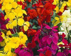 70 Seeeds Matthiola Incana Gillyflower Violet Fleur Graines