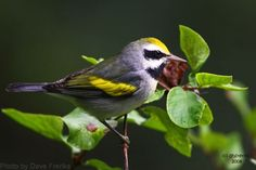 Gold-winged Warbler (photo by Dave Freriks)