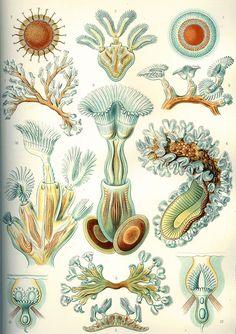 Haeckel Bryozoa - Kunstformen der Natur - Wikimedia Commons