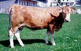 BEARNAISE es un tipo de ganado antiguo que fue selecto más por sus cualidades estéticas que por su productividad. Son de color rubio.  Las vacas miden alrededor de 132 cm y pesan 550 kg.