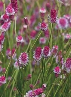 sanguisorba officinalis pink tanna pot 9cm