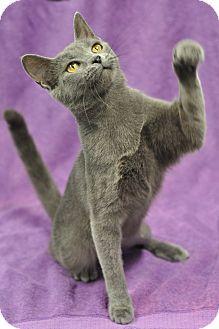 Putnam Hall, FL - Russian Blue. Meet Missy, a cat for adoption. http://www.adoptapet.com/pet/11397124-putnam-hall-florida-cat